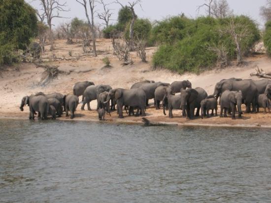 Chobe National Park, บอตสวานา: Elefanterna tar sin dagliga tur til floden før att dricka og bada.Vi är ute med båt i älven
