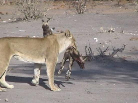 Chobe National Park, บอตสวานา: Rätt efter jakten med en av de søta ungarna i munnen, naturen er rå ibland..