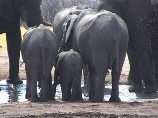 Chobe National Park, บอตสวานา: Elefanfamiljen samlad
