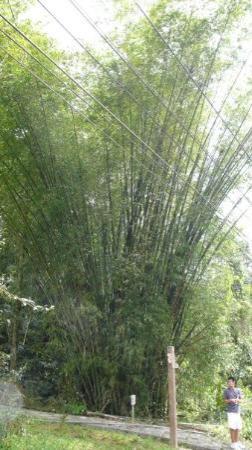 Sun Moon Lake: : Huge bamboo tree