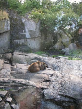 สตอกโฮล์ม, สวีเดน: Skansen - Björnen sover björnen sover.... HALLÅ björnen!! Kan du kolla hit!!