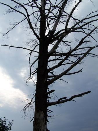 แอลกอนควินพาร์ค, แคนาดา: Cool tree where we hung the bear rope.