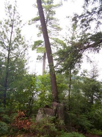 แอลกอนควินพาร์ค, แคนาดา: Tree growing over a rock