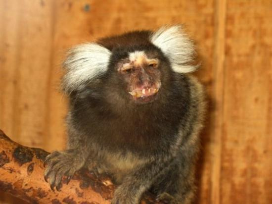 Rising Sun, แมรี่แลนด์: A very amusing pygmy marmoset - Plumpton Park Zoo