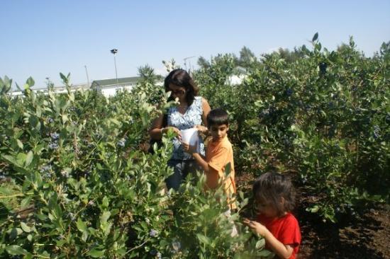 แวนคูเวอร์, แคนาดา: Blueberry pickings ----only half an hour drive from our house
