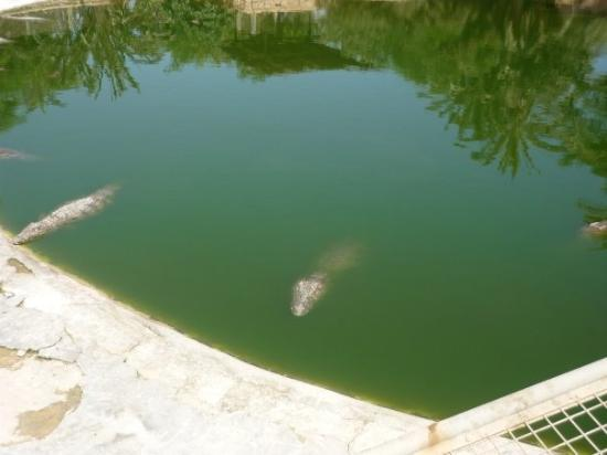 DJERBA EXPLORE: crocodiles having siesta!