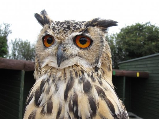 St Columb Major, UK: Screech Owl Sanctuary - Cornwall :o>