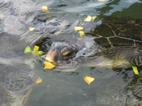 Savai'i, ซามัว: Swimming with the turtles ..,.. it was interesting