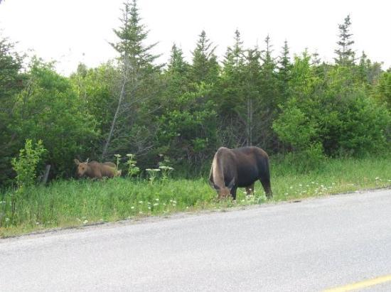 Gros Morne National Park, แคนาดา: A mother moose and her calves. Over a five day period, we saw 19 moose!! (Gros Morne National Pa