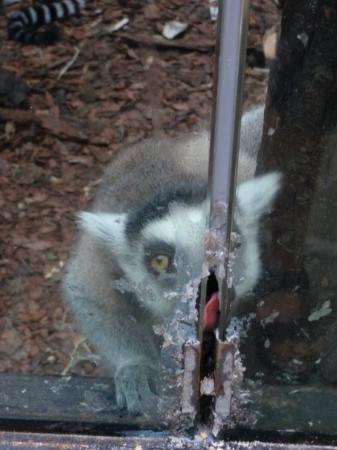 Beijing Zoo: Makakit olivat syöneet silikonit pleksihäkistään ja kiinalaiset syöttivät niille raosta kaikenla