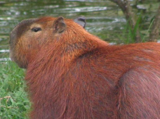 บราซิเลีย: Capybara