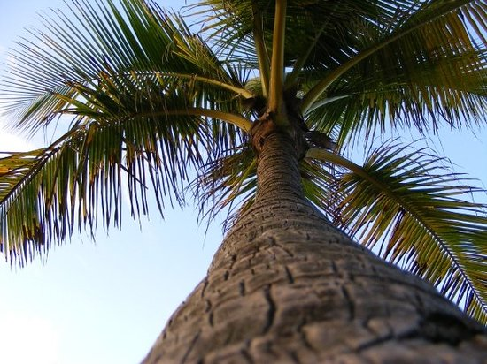 Yabucoa, Porto Rico : Palm at the Caribe Playa
