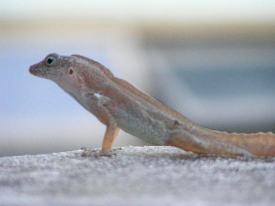 Yabucoa, เปอร์โตริโก: Lizard near the Caribe Playa