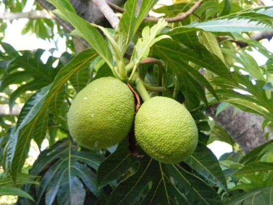 Yabucoa, Porto Riko: Breadfruit near the Caribe Playa