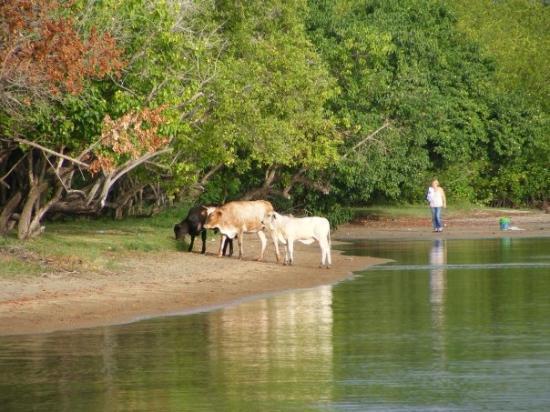 Yabucoa, เปอร์โตริโก: Cows on the beach in Lamboglia