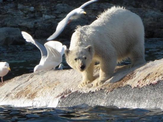 Spitsbergen, นอร์เวย์: Yummy - dead fin whale