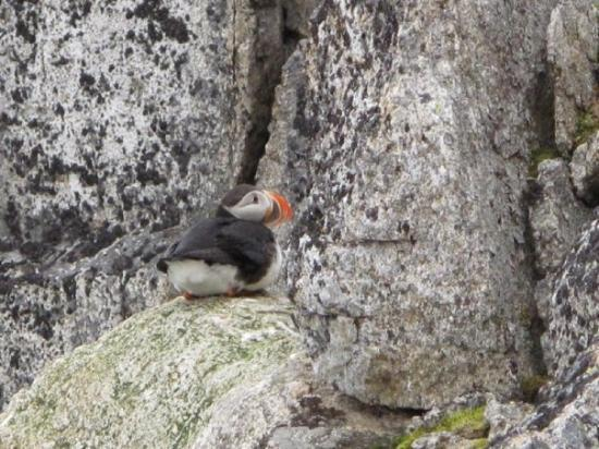 Spitsbergen, นอร์เวย์: Papageientaucher
