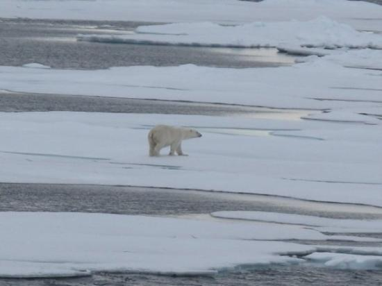 Spitsbergen, นอร์เวย์: Another lonely bear