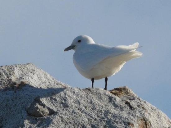 Spitsbergen, นอร์เวย์: Ivory Gull