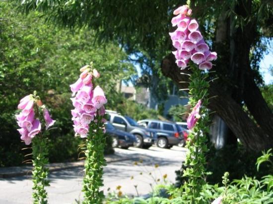 โพรวินซ์ทาวน์, แมสซาชูเซตส์: Blue Bells from my 2005 trip.