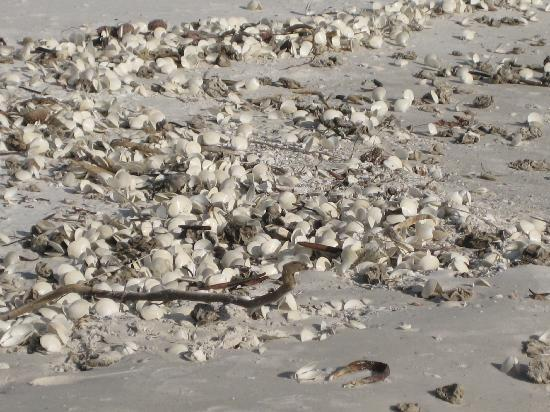 Cornerstone Beach Resort: Shells on the beach
