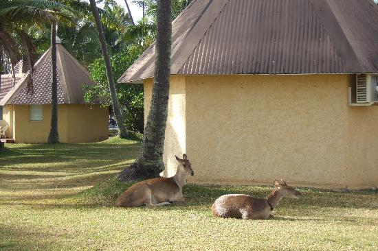 Koulnoue Village: Deer in the morning