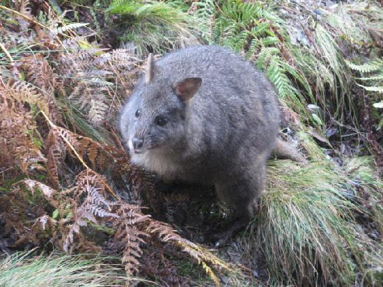 Peppers Cradle Mountain Lodge: wallaby