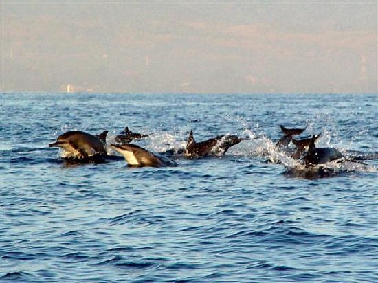 โรงแรมอดิรามาบีช: Dolphins off the coast of Lovina