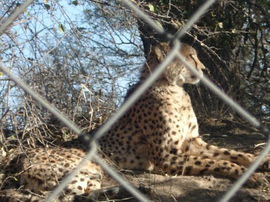 Hippo Hollow Country Estate: Cheetah at cheetah project