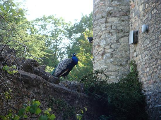 Banwell Castle: Peacock!