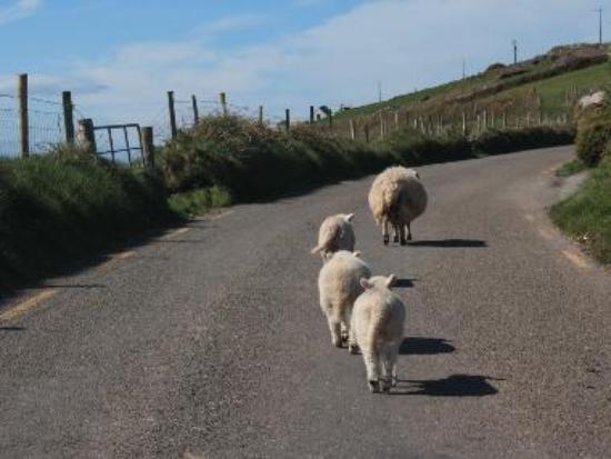 Sheep On Slea Head Drive