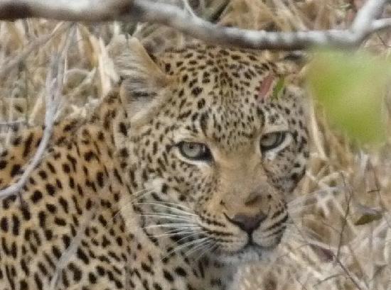 Lion Sands Ivory Lodge: Female Leopard