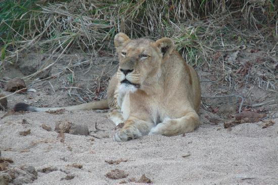 Lion Sands Ivory Lodge: Souther Pride: first of 15