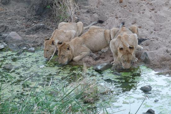 Lion Sands Ivory Lodge: They were this close!