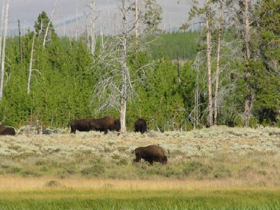 Indian Creek Campground: Bison hanging out in the meadow just below Indian Creek
