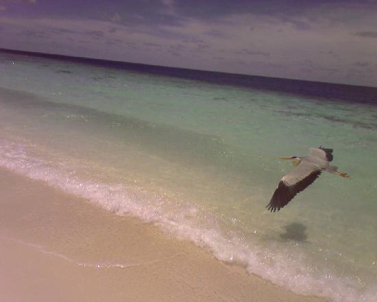 Fihalhohi Island Resort: airone_spiaggia di Fihalhohi Island