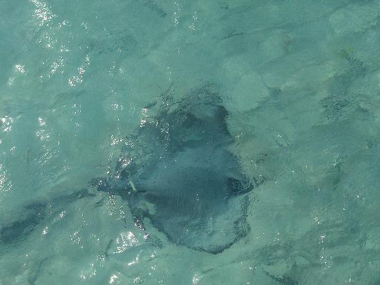 ธัลฮากีรี ไอส์แลนด์ รีสอร์ท แอนด์ สปา มัลดีฟส์: A ray feeding under the walk way to the new water bungalows