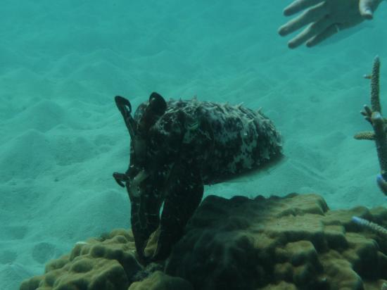 Calypso Adventures: Cuttlefish