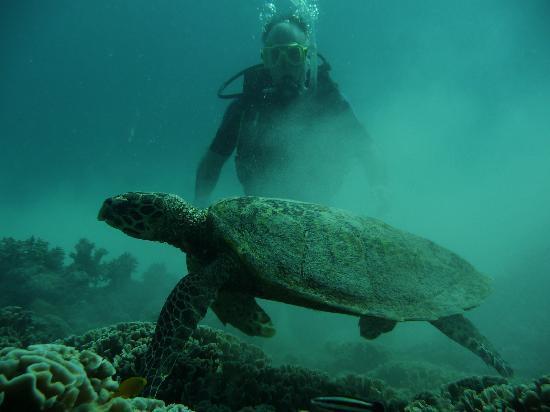Calypso Adventures: Green sea turtle