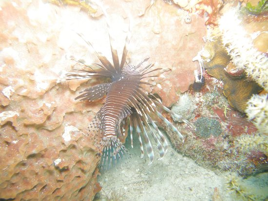Dressel Divers: Lion Fish