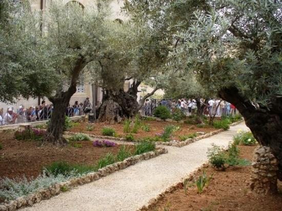 เยรูซาเล็ม, อิสราเอล: Olive trees several 1000s of years old