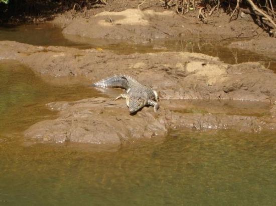 กอโรร์, ปาเลา: Thursday June 12 2008 River Croc, right on cue