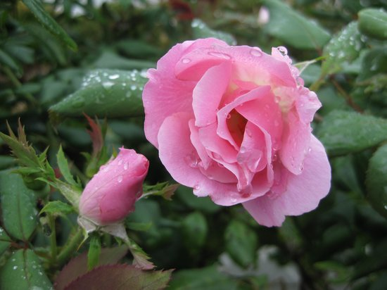 Brierley Hill Bed and Breakfast: Roses in the garden
