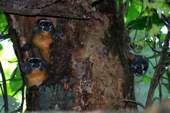 อีกีโตส, เปรู: tree monkeys