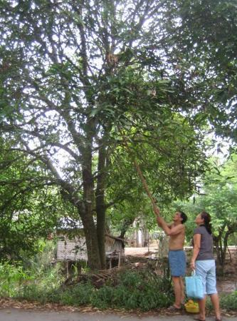 Cao Lanh, เวียดนาม: Picking fruit with the really super long fruit-picking stick.  It has a little basket at the end