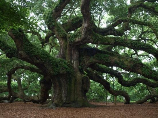 ชาร์ลสตัน, เซาท์แคโรไลนา: Angel Tree Charleston-1400 year old Oak Tree