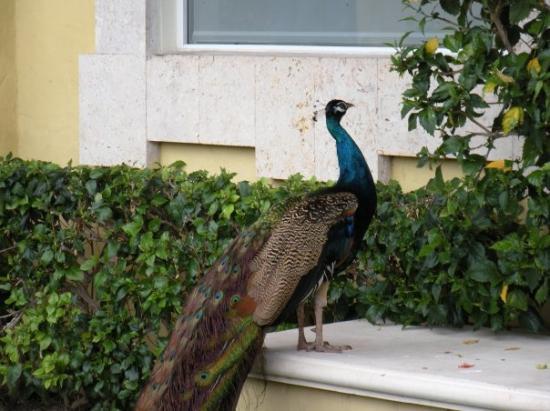 พลายาเดลคาร์เมน, เม็กซิโก: Four or five Peacocks roam the grounds