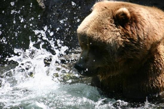 พิตต์สเบิร์ก, เพนซิลเวเนีย: Rocky - One of the bears at the Pittsburgh Zoo playing in his pond