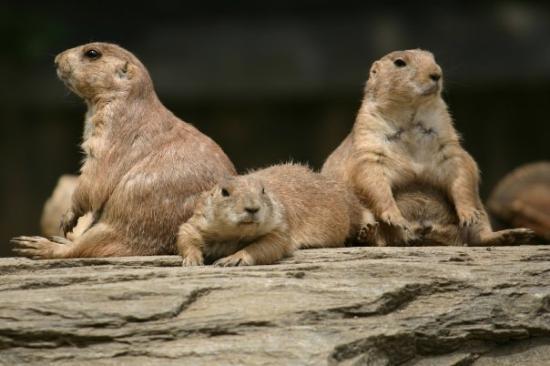 ฟิลาเดลเฟีย, เพนซิลเวเนีย: Three of the locals at the Philadelphia Zoo (I think they are some type of groundhog)