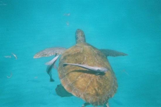 บริดจ์ทาวน์, บาร์เบโดส: Sea turtle while snorkelling.